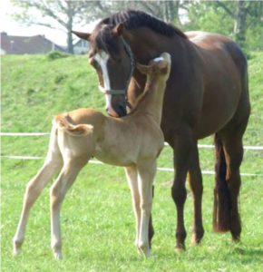 The end result –healthy foal and recipient mare