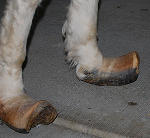 chronic laminitis hooves