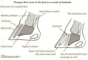 laminitis5